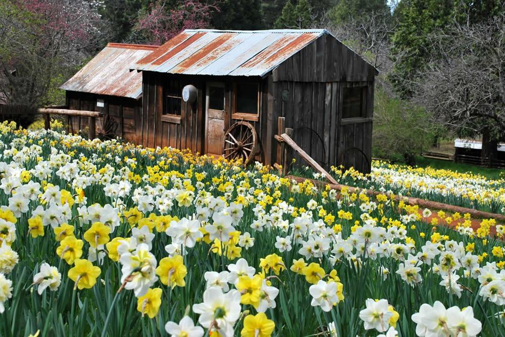 daffodil hill sutter creek california